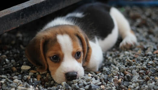Beagle Most Popular Dog Breed