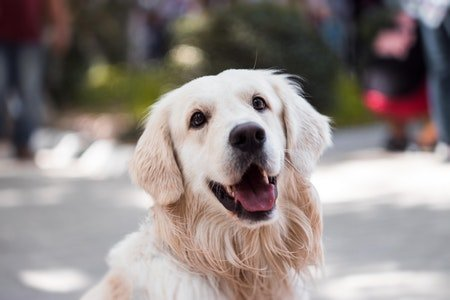 Golden Retriever Most Popular Dog Breeds In India