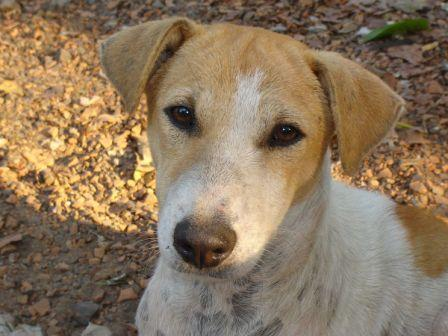 Indian Pariah Dog Breed In India