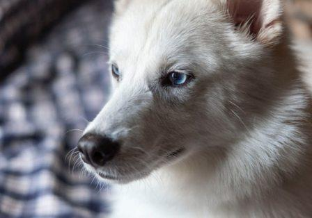 Indian Spitz Dog Breed In India