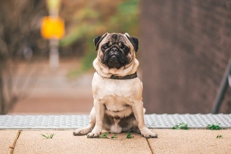 Pug Most Popular Dog Breed