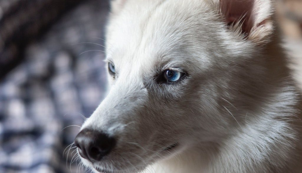 Indian Spitz Dogs Price In India List