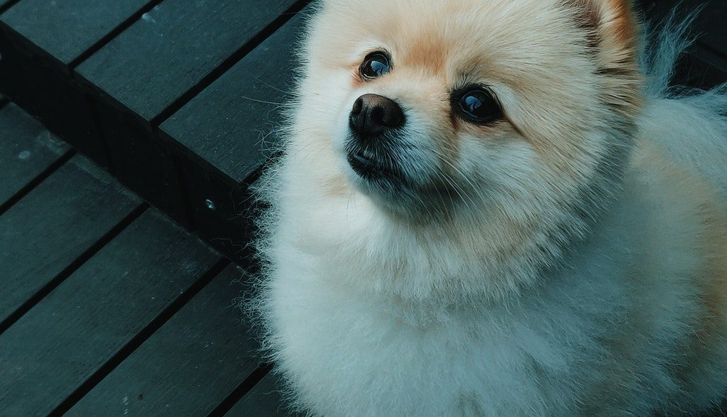 pomeranian small dog breeds in india