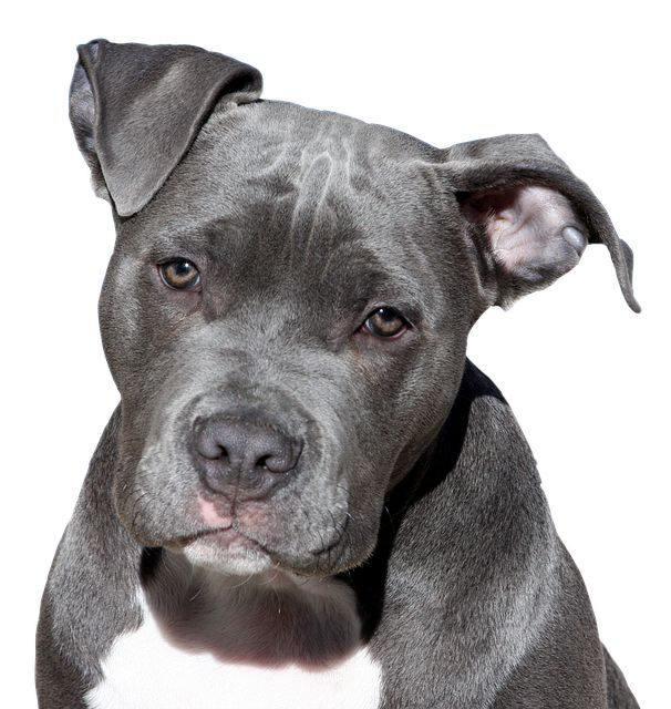american pitbull terrier dog price in india