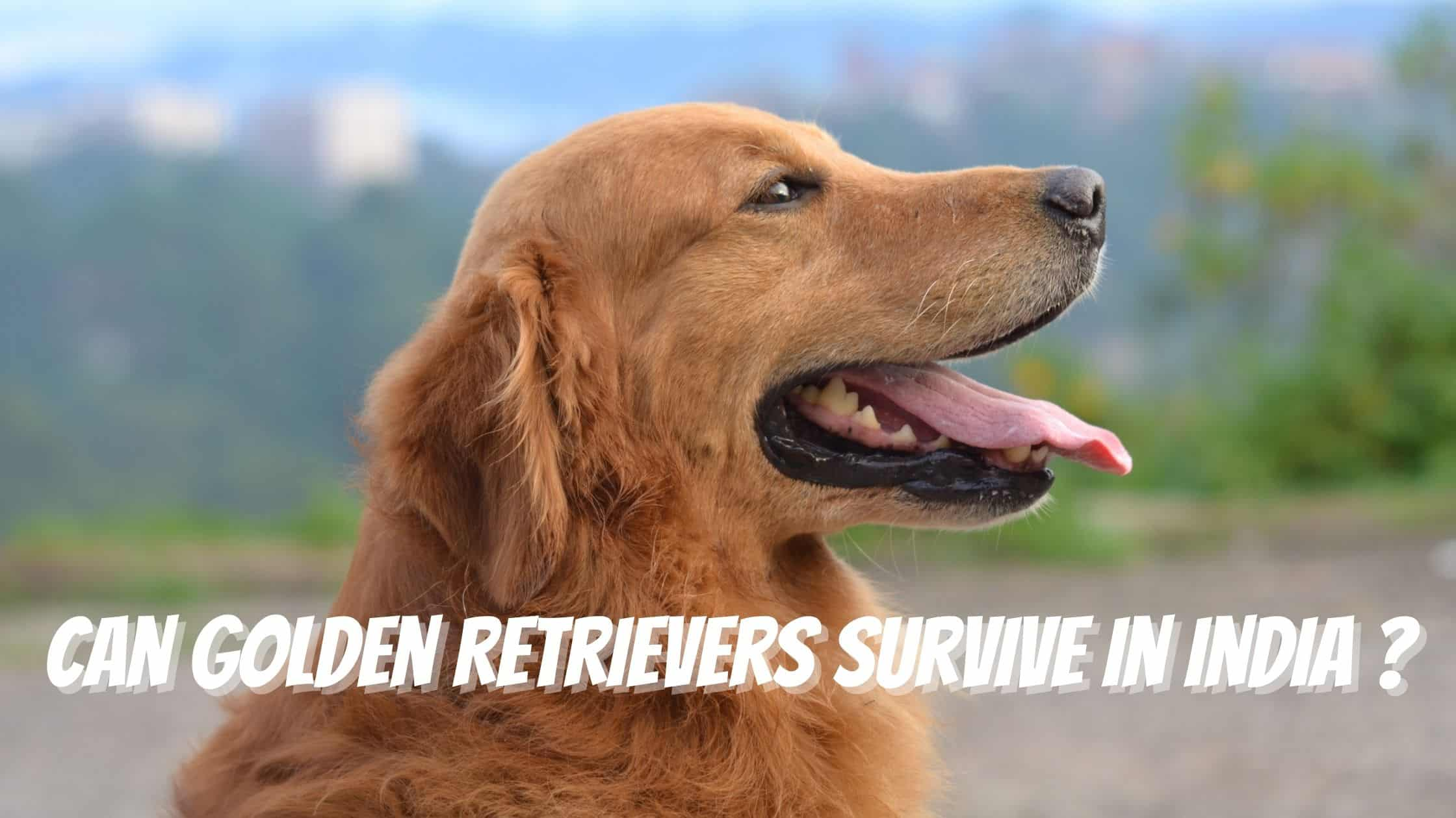 Can Golden Retrievers Survive In India