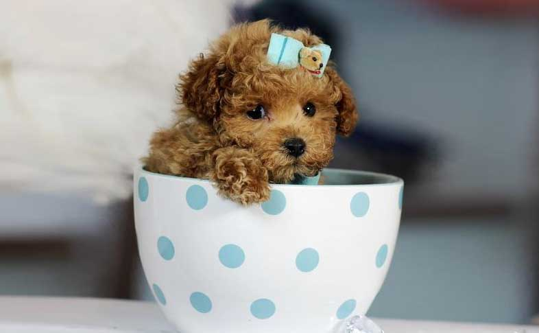 teacup dog price in india (poodle)